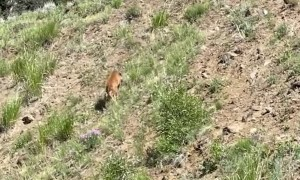 Baby Bison Struggling Uphill Makes it to the Top