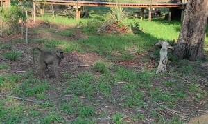Baboons Follow Nervous Resort Guest