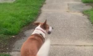 Dog Pushes Crosswalk for Owner