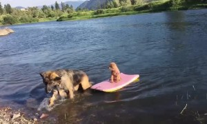 Big Dog Rescues Little Dog From Floating Away