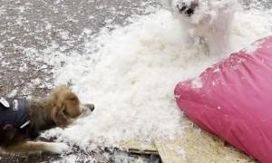 Doggy Having a Blast Destroying Her Blanket