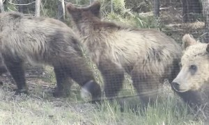 Family of Bears Scurry Across the Road