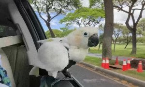 Koko the Cockatoo Windsurfing in Car