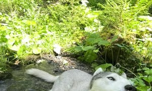 Husky Cools Off in Mountain Stream