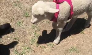Lost Lamb Becomes Loyal Pack Member