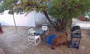 Bear Tries Foraging Empty Apple Tree