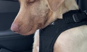 Sleepy Puppy Fights Off Snoozing in Car