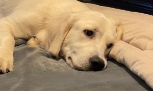 Golden Prepares Bed for Snout Landing