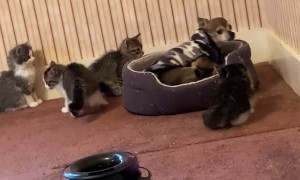 Dog Overwhelmed by Curious Kittens