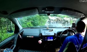 Cattle Behind Curve Almost Crash Car