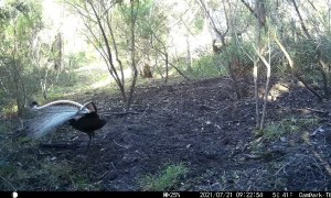 Superb Lyrebirds Mating Ritual