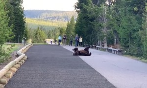 Grizzly Bear Surprises Visitors While Scratching Itch At Yellowstone