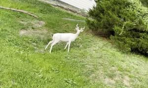 Rare Albino Deer Frolics in West Virginia