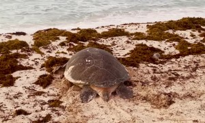 Rescuing an Exhausted Mama Sea Turtle