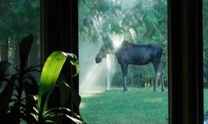Mama Moose Cools off in Backyard Sprinklers
