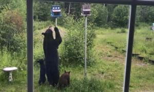 Mama Bear and Cubs Want Bird Feeder