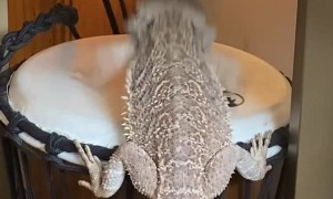 Bearded Dragon Plays a Beat on the Bongo Drum
