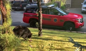 Black Bear Channels It's Inner Squirrel on Fence