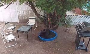 Bear Keeps Cool in Pool