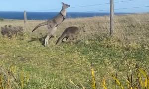 Kangaroo Clique on Cliff