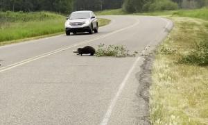 Beaver Moving Tree Across Road in Elk Island