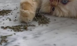 Kitty Approves of High Quality Catnip