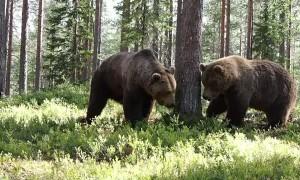 Intense Territorial Brawl Between Two Massive Brown Bears