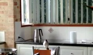 Wild Butcher Bird Chips Away in Kitchen