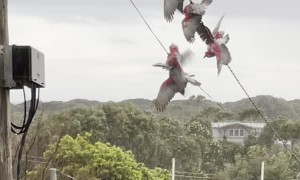 Acrobatic Galahs Have a Shower on High Wire