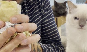 Cat Can't Contain Craving for Burrito