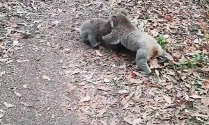 Koalas Have Noisy Quarrel