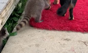 Baby Raccoons Play with Chief the Dog