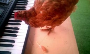 Chicken Plays Birthday Song on Keyboard