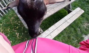 Playful Goat Discovers the Magic of Zippers