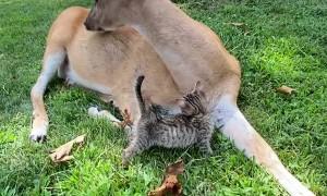 Kitten Receiving Loves from Buttons the Deer