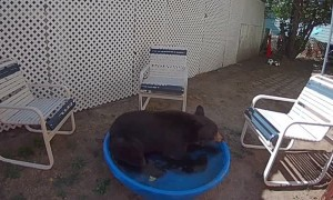 Large Bear Relaxes in Small Backyard Pool