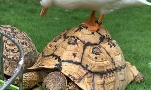 Duck Bothers Tortoise During Breakfast