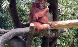 Orangutan Sports Sunglasses