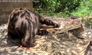 Bear Enjoys Using Box as Scratching Pad