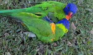 Playful Rainbow Lorikeets Tumble in the Grass