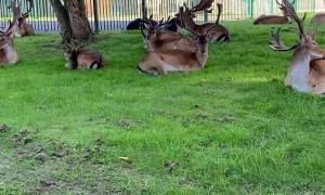 Deer Hang Out at Harold Hill