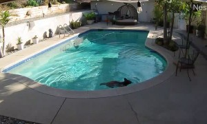 Bear Cub Stops by for a Quick Dip In the Pool