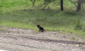 Wolf Puppy Crosses the Road