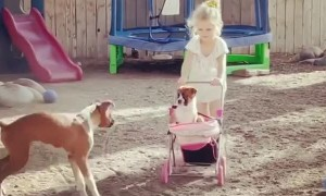 Boxer Puppies Play with Stroller