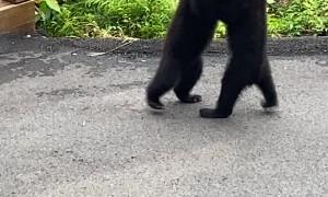 Black Bear Cubs Wrestle on Patio