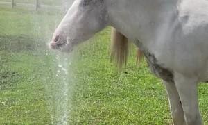 Horse Cools off in Lawn Sprinkler