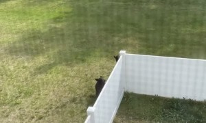 Bear Family Scale Backyard Fence With Ease