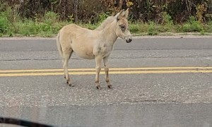 Unsuccessful Shooing of Escaped Donkey