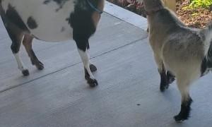 Goats Grab Kid's Crackers