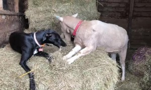 Dog and Goat Best Friends Eating Hay Together